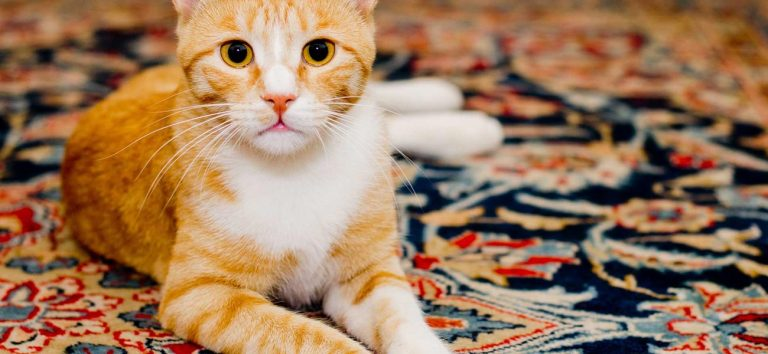 Pet Rugs Cleaning